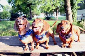 Dachshunds_1 small
